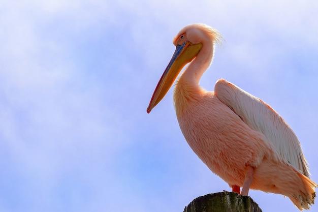 Gros plan d'oiseaux africains sauvages. un grand oiseau pélican namibien rose contre un ciel bleu