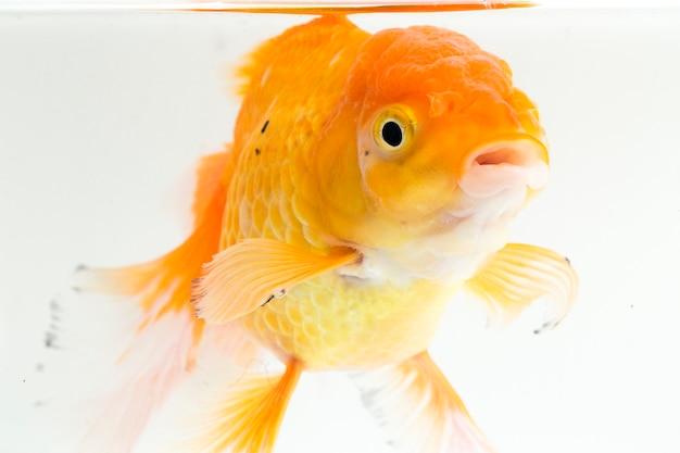Gros plan, de, orange, oranda, poisson rouge