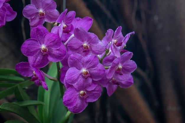 Gros plan d'une orchidée violette vanda dans le jardin. mise au point sélective belle orchidée pourpre.