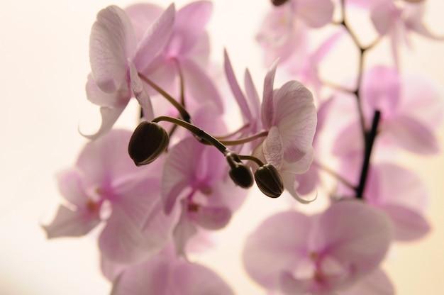 Gros plan d'orchidées blanches sur fond clair. phalaenopsis orchidée rayée isolée. orchidée rose en pot sur fond blanc. image de l'amour et de la beauté. fond naturel et élément de conception.