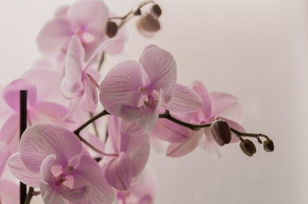 Gros plan d'orchidées roses sur fond abstrait léger. orchidée rose en pot sur fond blanc. image de l'amour et de la beauté. fond naturel et élément de conception.