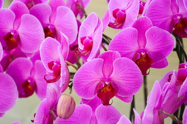 Gros plan d'orchidées violettes belles fleurs d'orchidées striées de phalaenopsis