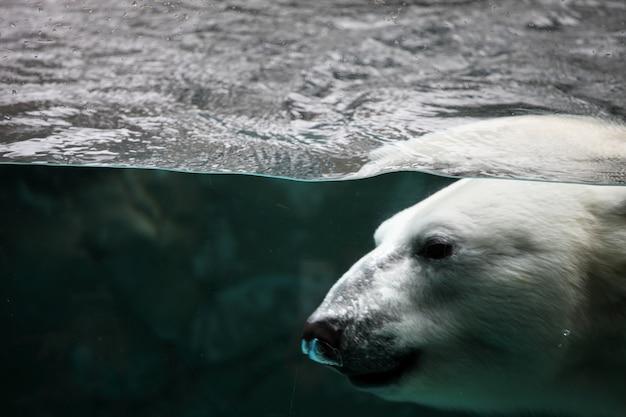 Gros plan d'un ours polaire sous l'eau