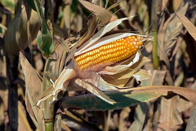 Gros plan, ouvert, épi maïs, plantation