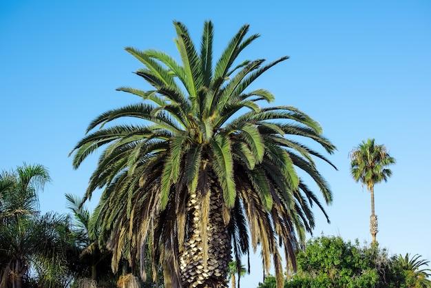 Gros plan sur les palmiers contre le ciel bleu