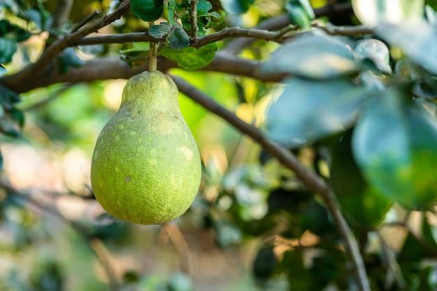 Gros plan de pamplemousse vert poussent sur le pamplemousse dans un fond de jardin récolte d'agrumes en thaïlande.