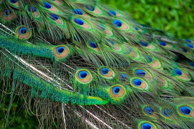 Gros plan, paon, queue plumes sur la queue d'un paon.
