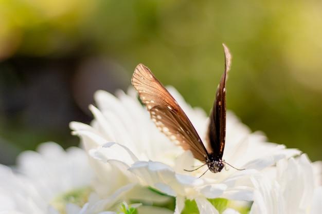 Gros plan papillon tigre commun sur une fleur blanche dans le jardin