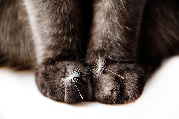 Gros plan des pattes de chat avec de minuscules graines de pissenlit duveteuses sur eux