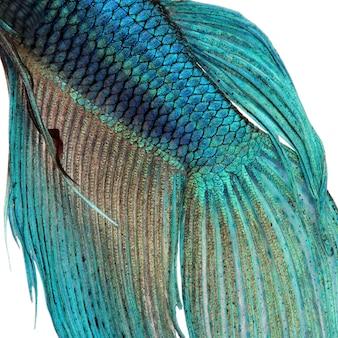 Gros plan sur une peau de poisson - poisson combattant siamois bleu - betta splendens sur un blanc isolé