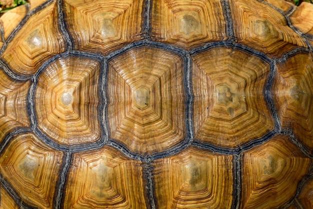 Gros plan peau de tortue sulcata pour peau de bête