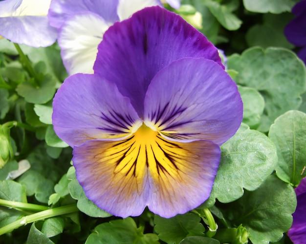 Gros plan de pensées bleues et jaunes de fleur de pensée colorée