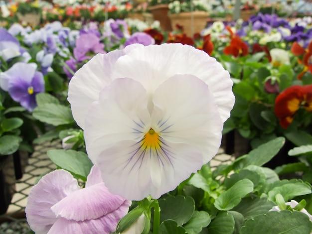 Gros plan de pensées de fleur blanche de fleur de pensée colorée