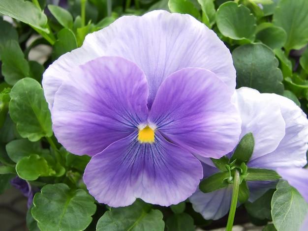 Gros plan de pensées de fleur bleue de fleur de pensée colorée