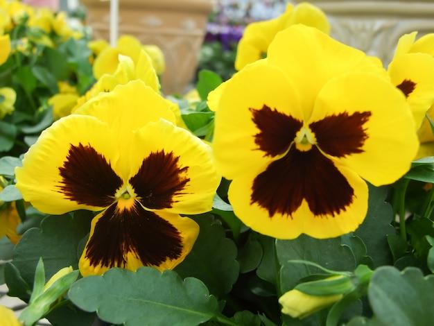 Gros plan de pensées jaunes et noires de fleur de pensée colorée