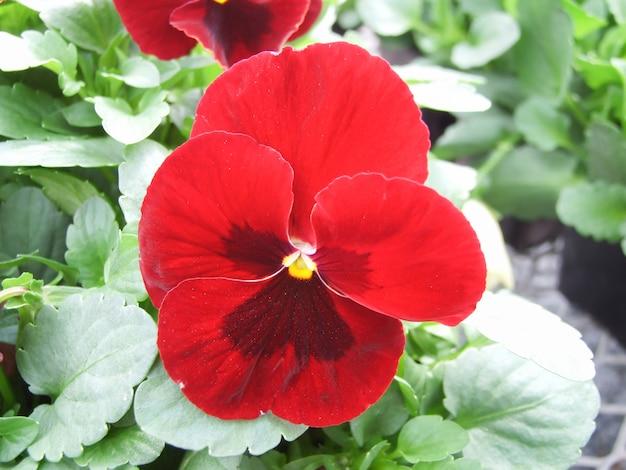 Gros plan de pensées rouges et noires de fleur de pensée colorée