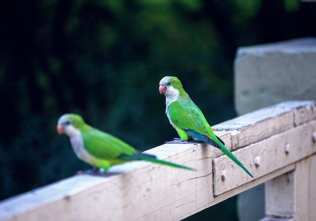 Gros plan de perroquets moine perruche assis sur une clôture en bois