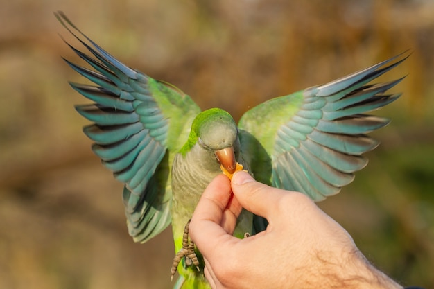 Gros plan d'une perruche moine volante obtenant de la nourriture de la main d'un homme