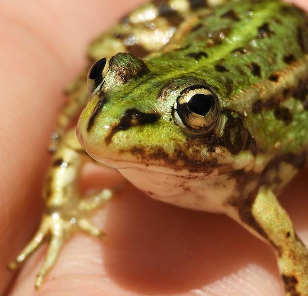Gros plan d'une personne tenant une petite grenouille de piscine sous les lumières