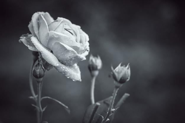 Gros plan sur pétale de fleur rose transparente avec filtre noir et blanc