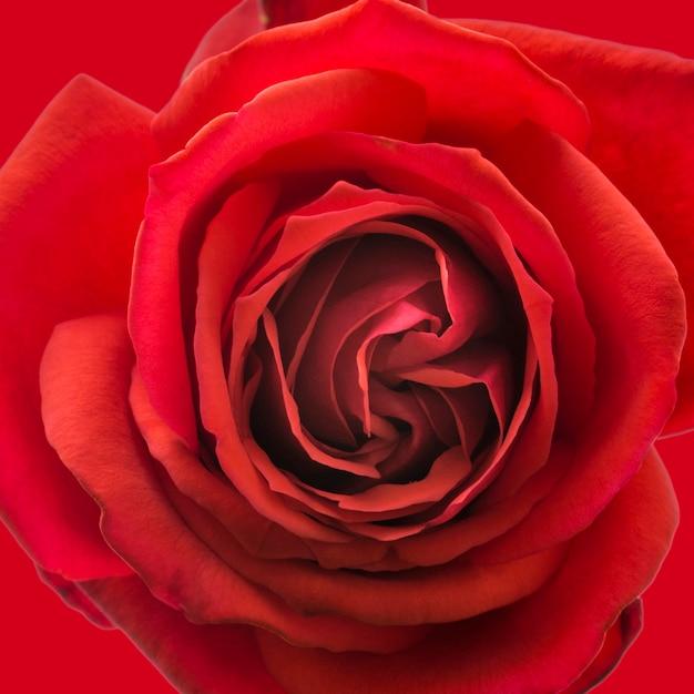 Gros plan des pétales artistiques de rose rouge