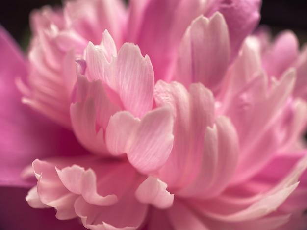 Gros plan de pétales de fleurs de pivoine rose. fond doux naturel pour vos créations.
