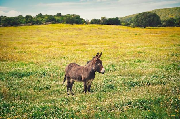 Gros plan d'un petit âne sur le champ de la fleur jaune