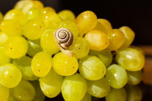 Gros plan d'un petit escargot rampant sur les raisins quiche mish.