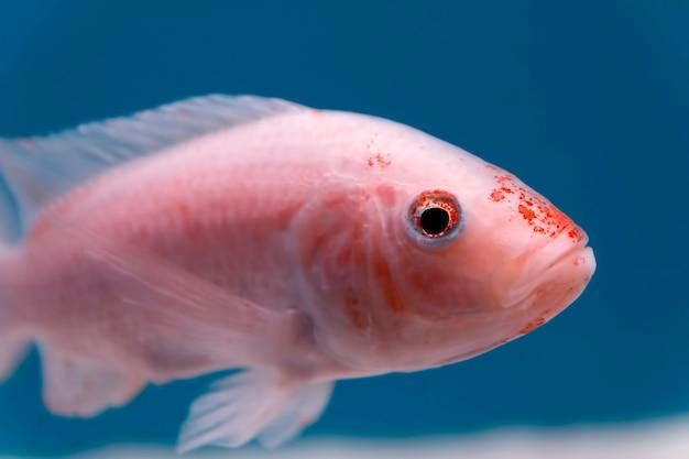 Gros plan d'un petit poisson rose et orange regardant la caméra dans l'aquarium