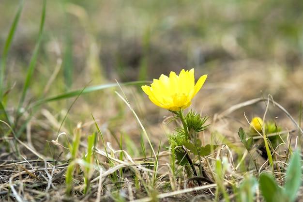 Gros plan sur une petite fleur sauvage jaune qui fleurit dans un champ de printemps vert.