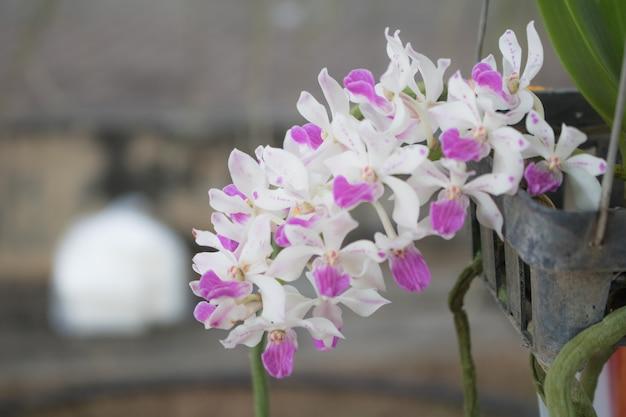 Gros plan phalaenopsis ou papillon de nuit dendrobium orchidée dans un jardin tropical floral, phynchostyis