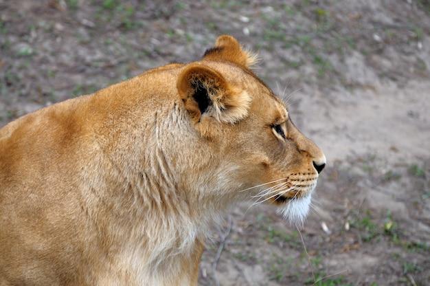 Gros plan photo d'un lion mâle.