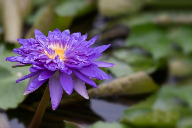 Gros plan photo de lotus violet dans l'étang