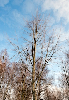 Gros plan photographié des bouleaux nus en hiver, ciel bleu, cime des arbres,