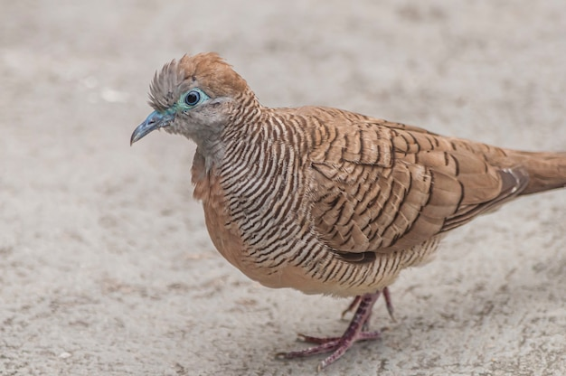Gros plan d'un pigeon brun marchant sur un sol en béton