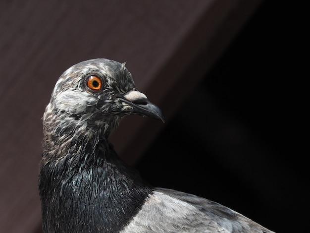 Gros plan, de, pigeon gris, tête, sous, vieux, tuile garage, toit, après-midi