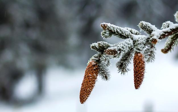 Gros plan, de, pin arbre, cônes, dans, hiver, couvert, de, neige blanche, et, gel