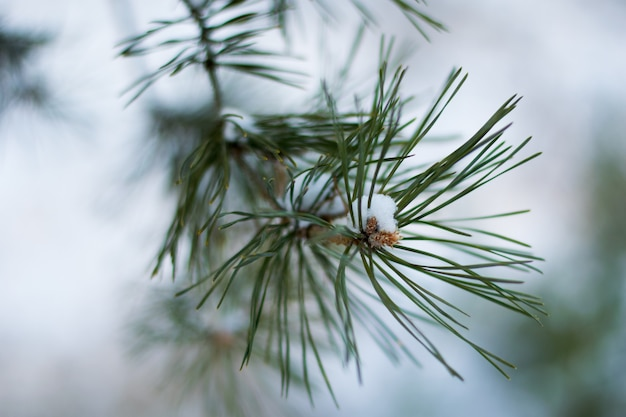 Gros plan, pin, branches, bois, couvert, neige