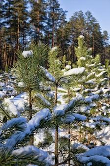 Gros plan sur les pins