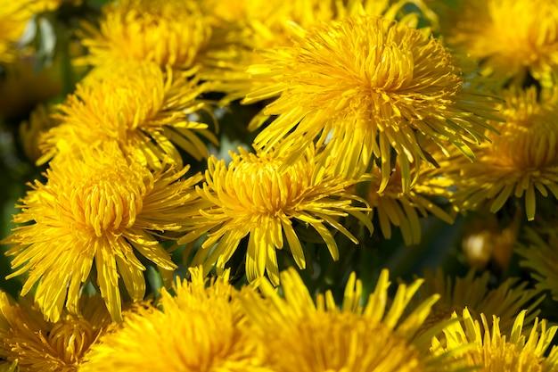 Gros plan de pissenlits jaunes au printemps, faible profondeur de champ