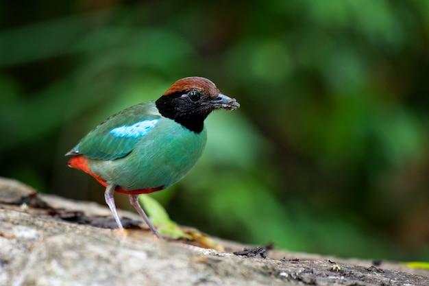 Gros plan pitta bird