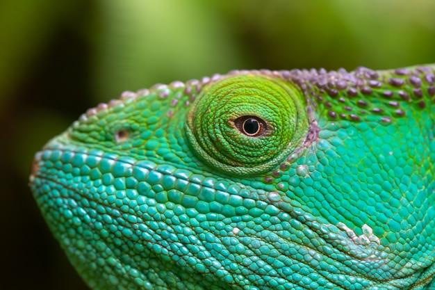 Gros plan, plan macro d'un caméléon vert