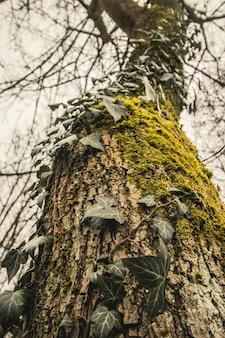 Gros plan d'un plant de vigne attaché dans un tronc d'un pin
