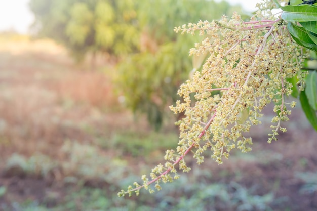 Gros plan d'une plantation de manguiers en fleurs.