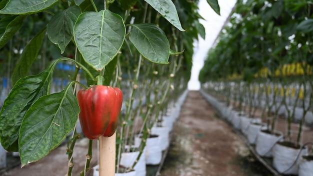 Gros plan sur des plantations de poivrons rouges poussant dans une serre industrielle.
