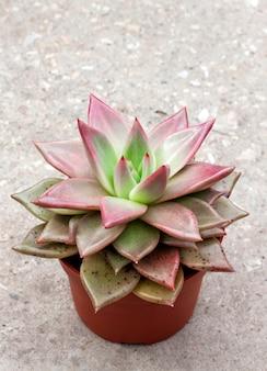 Gros plan de plante echeveria red taurus en pot
