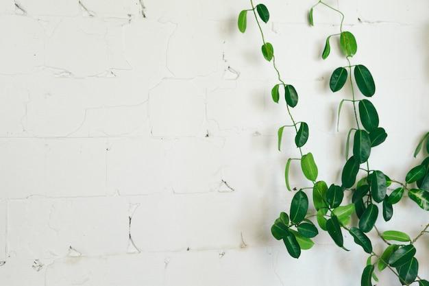 Gros plan d'une plante d'intérieur vert sur un mur blanc, décoration d'intérieur