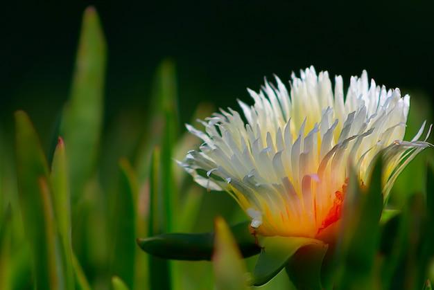 Gros plan plante jaune succulente du cactus echeveria