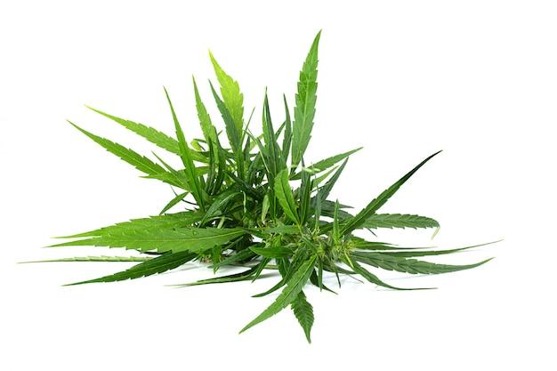 Gros plan d'une plante de marijuana isolé sur fond blanc