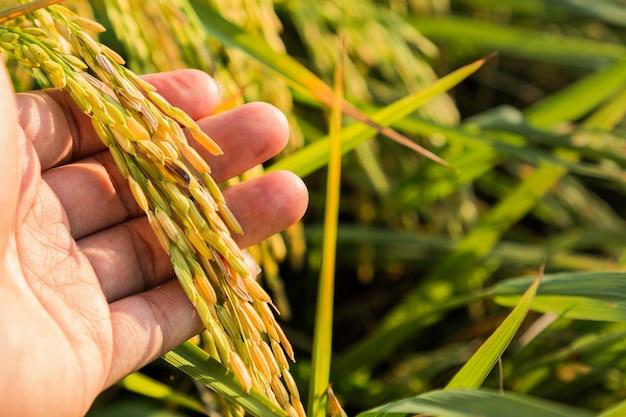 Gros plan d'une plante de riz paddy sur la main de l'agriculteur